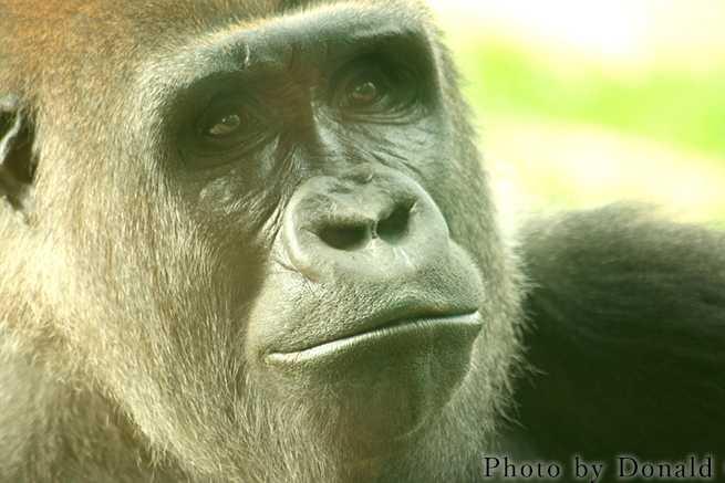 african-gorilla-1376875-1279x852