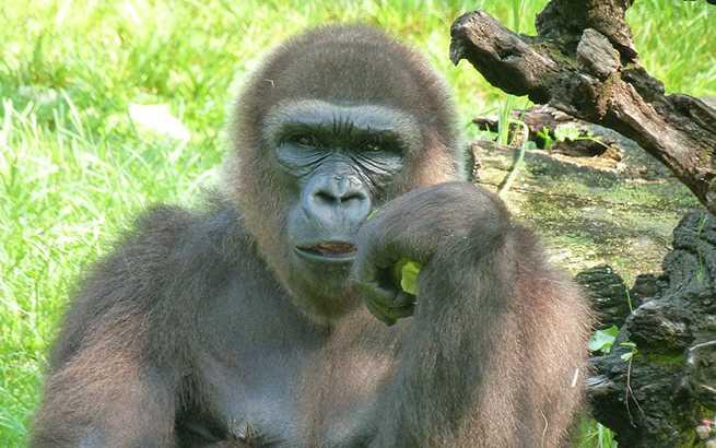 gorilla-65545_1280