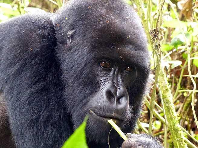 gorilla-818003_1280
