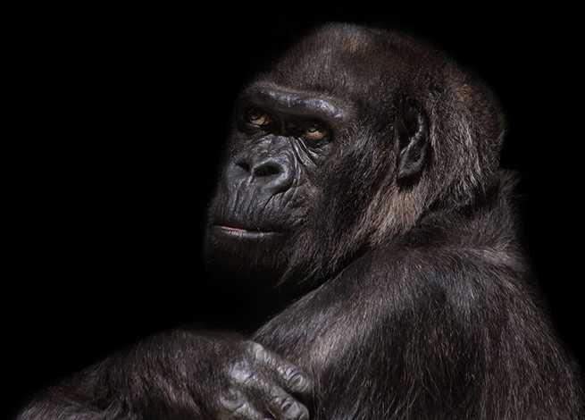 gorilla-845119_1280