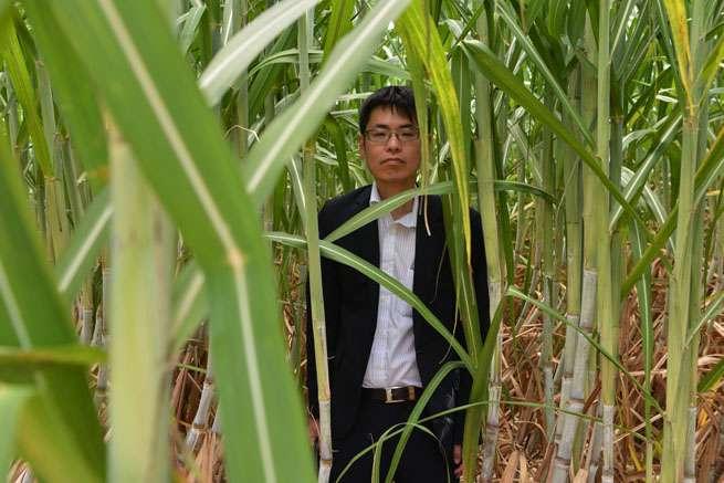 サトウキビ畑が僕の身を隠すよ