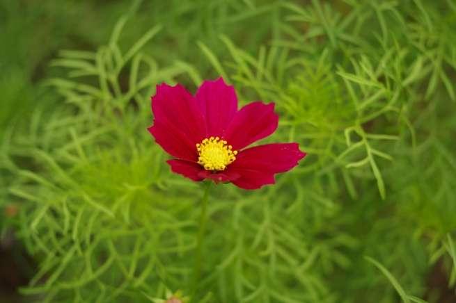 日の丸構図の例:真っ赤な花が真ん中に写っている写真