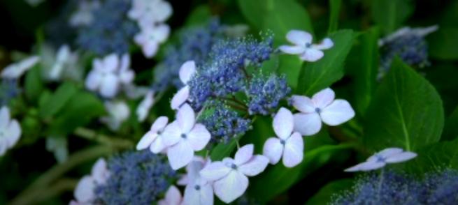 「ハイビジョン映像素材集」のイメージ画像・白と青の花の写真