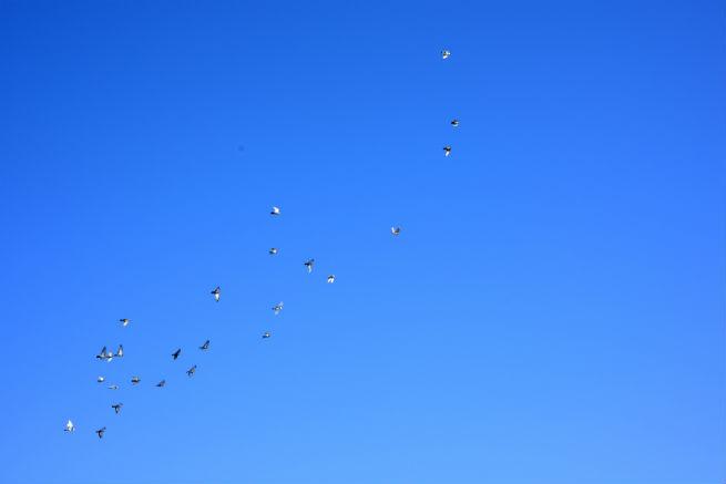 Fotolia_80563540_Birds in the blue sky_655*437