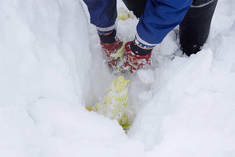 雪の合間から白菜