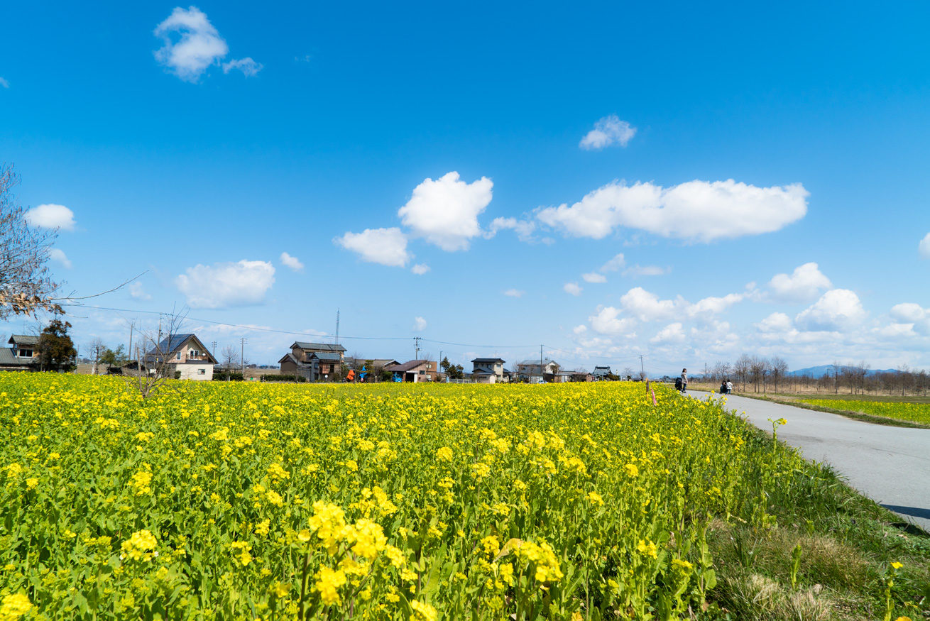 ガクが撮影した青空の下に広がるあたり一面の菜の花畑と道