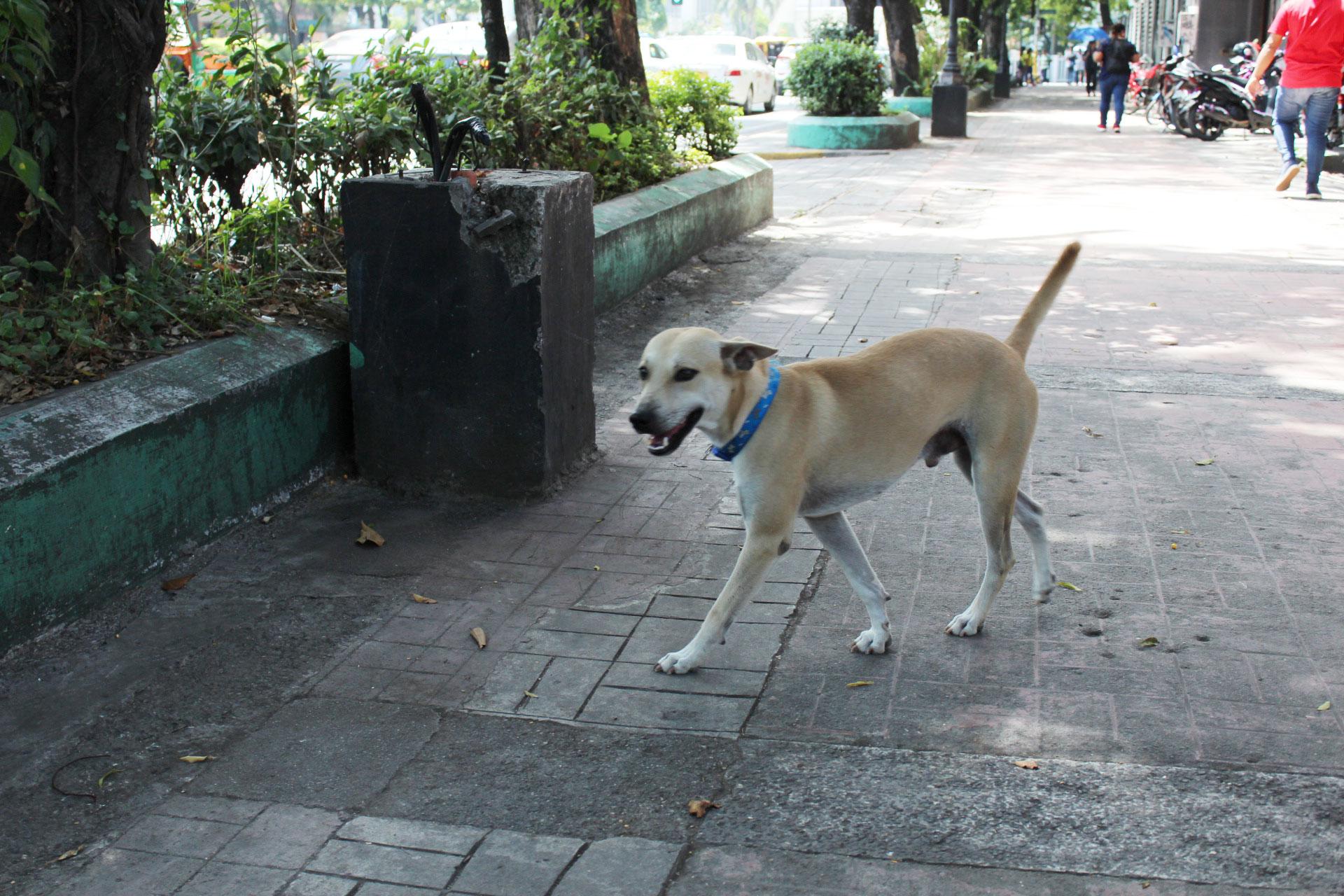 セブ市街地を練り歩く犬