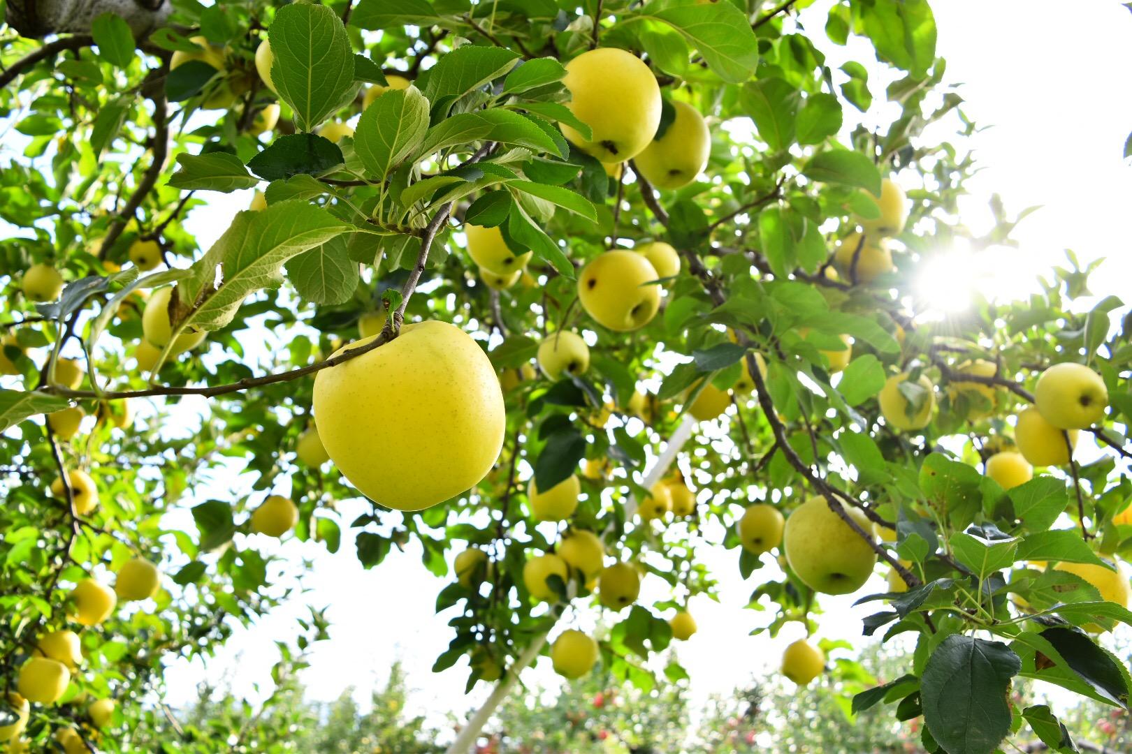 長野県産の黄金りんご