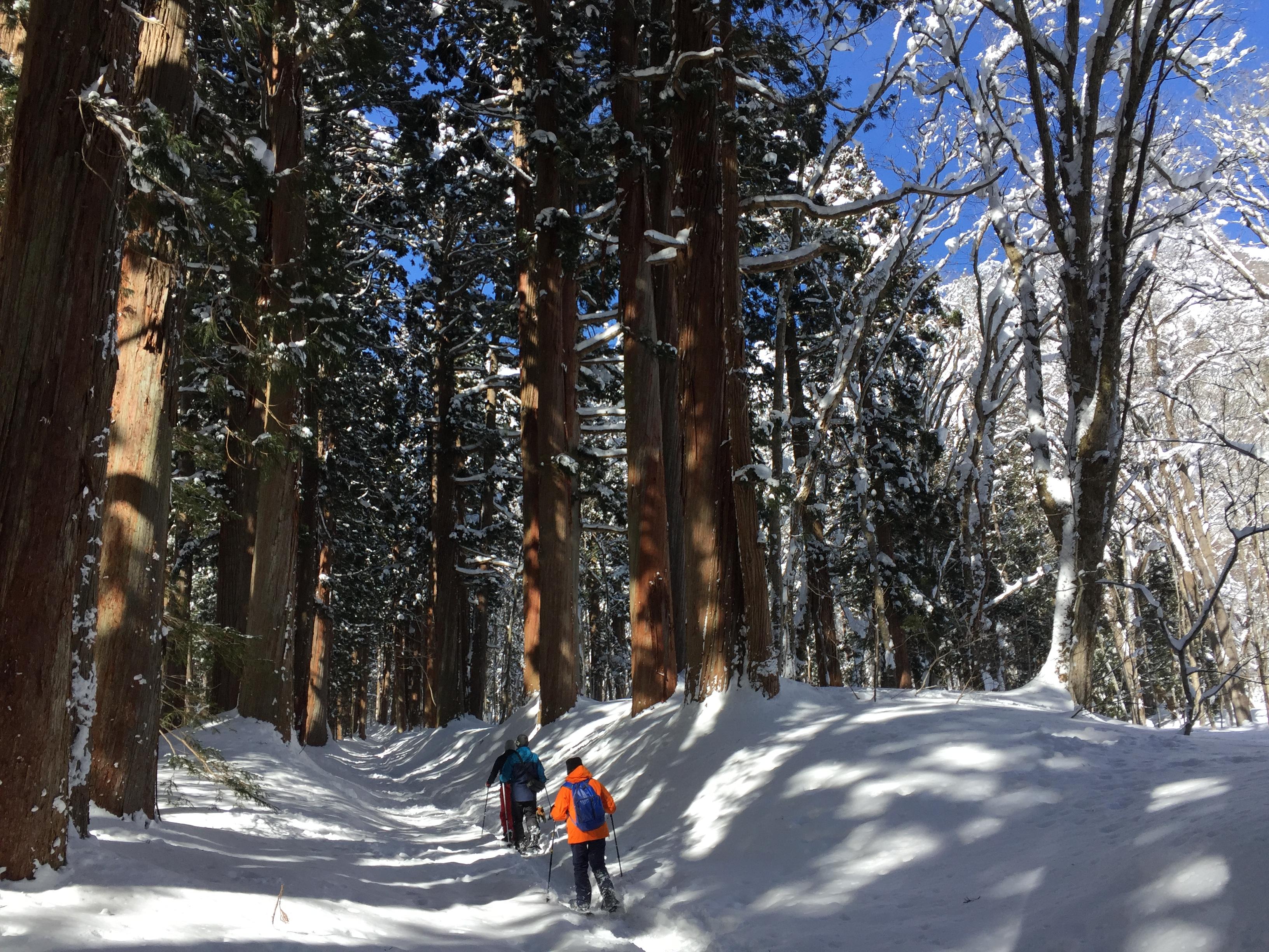 樹齢約400年を超える杉並木道を歩くスノーアクティビティ客