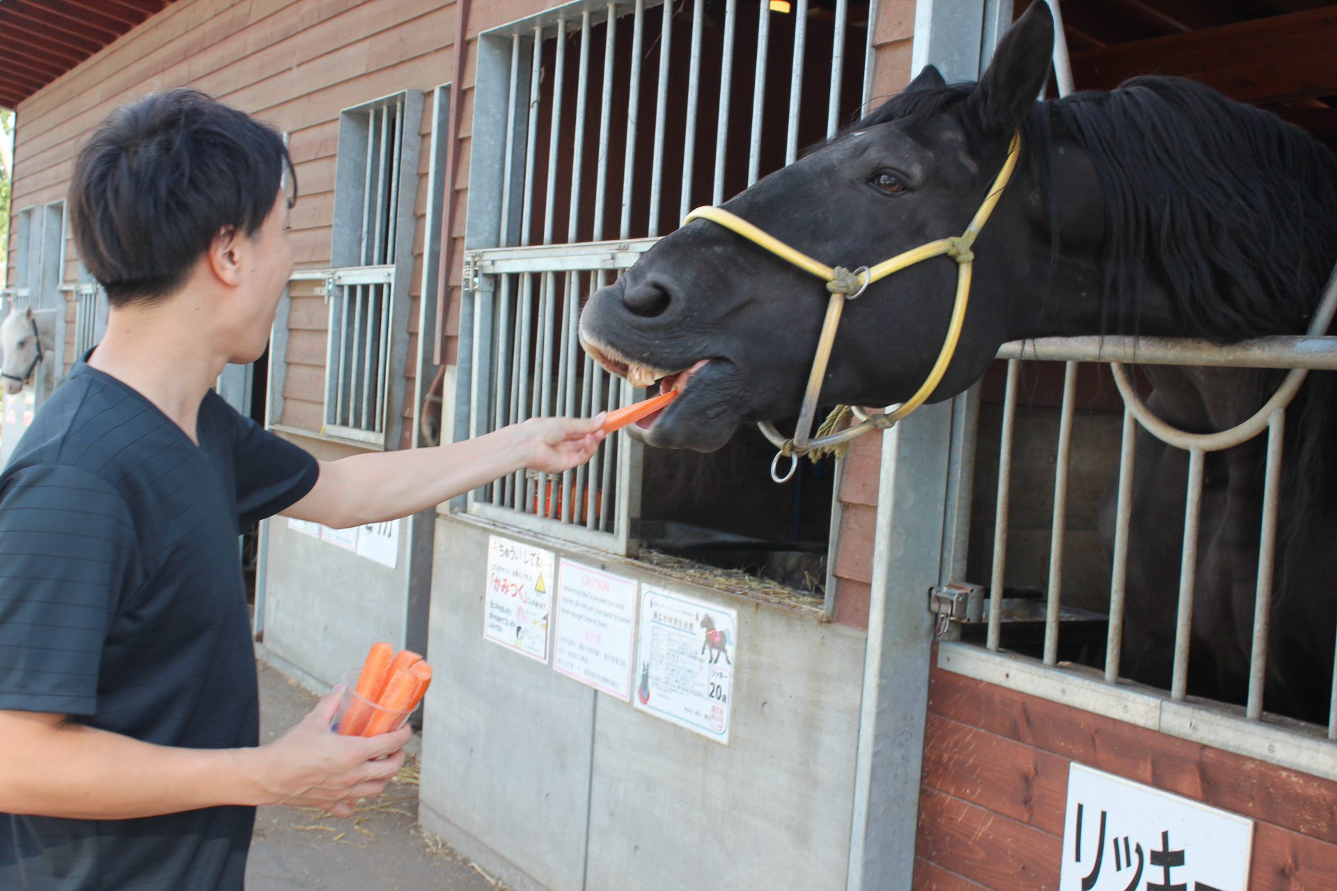 帯広競馬場では輓馬に人参をあげることができます。