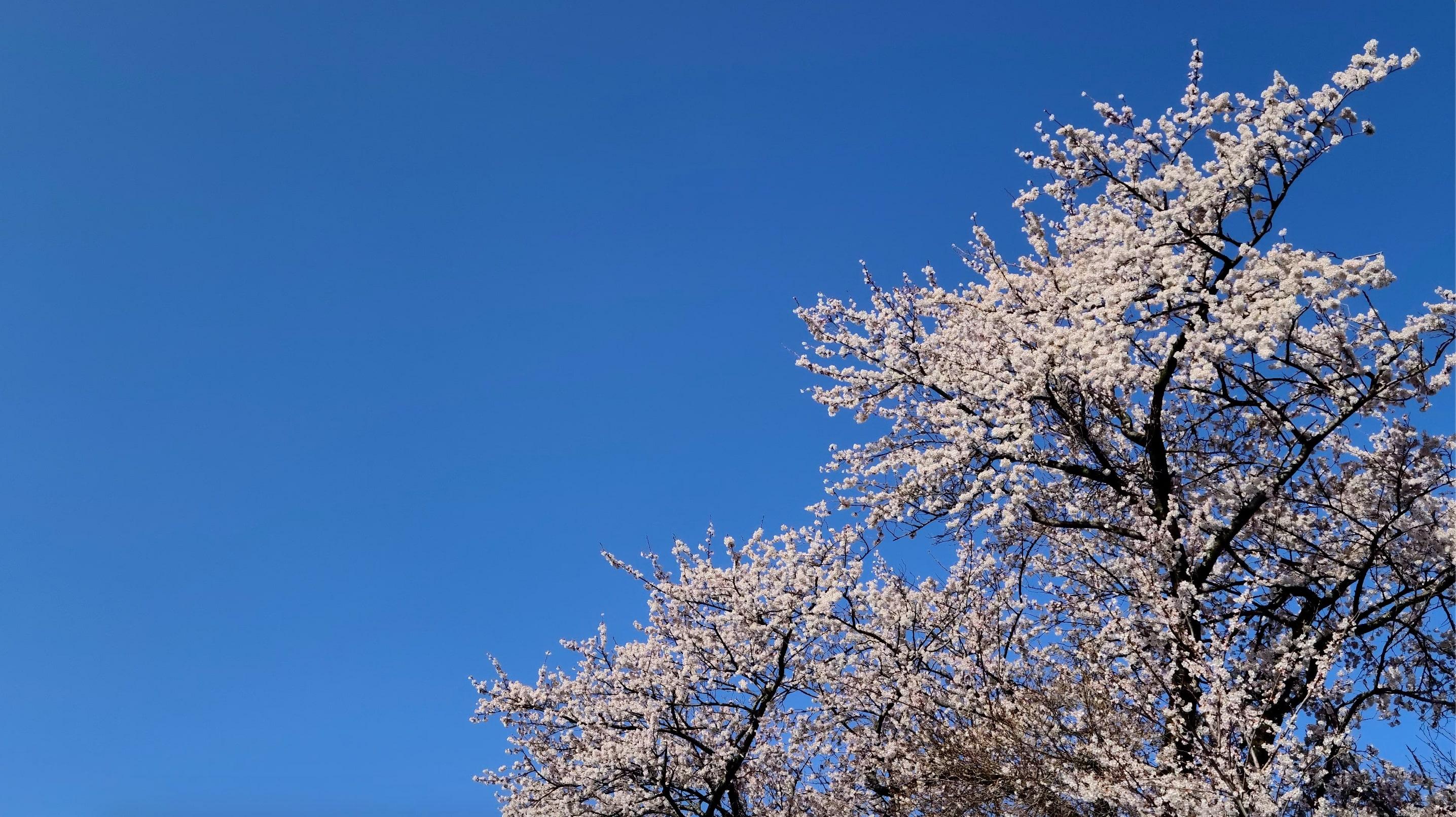 8K/4K映像/ハイビジョン映像素材集の桜の動画のキャプチャ