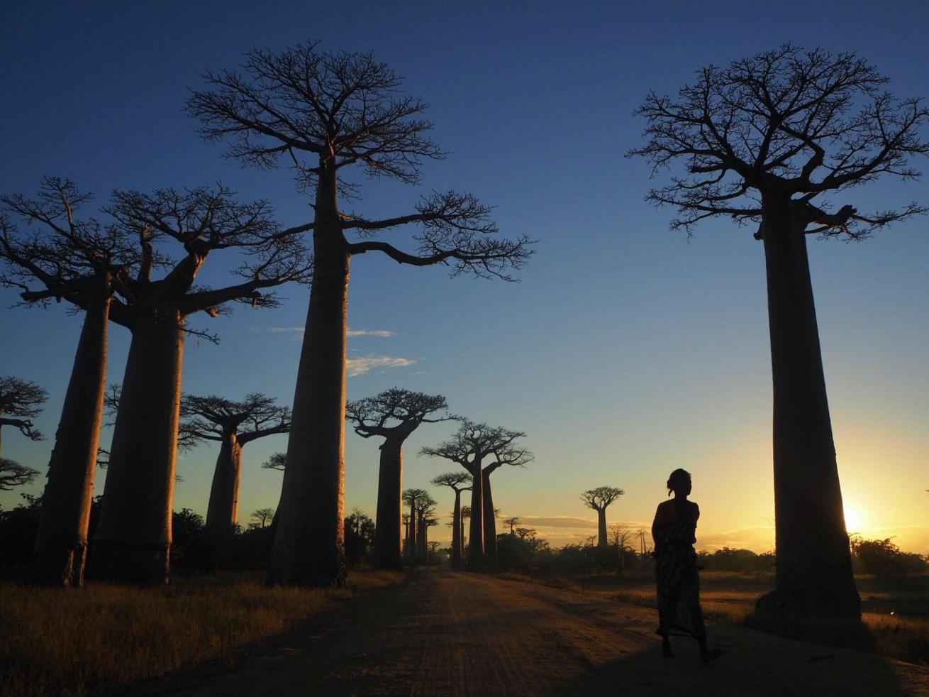 アフリカ大陸で出会ったバオバブの木が立ち並ぶ景色の写真